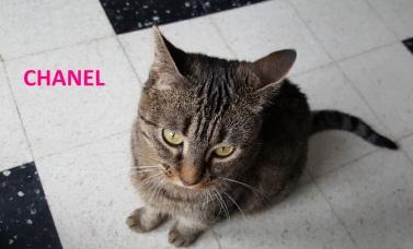 Chanel est une mignonne femelle de 5 ans, identifiée et stérilisée qui attend sa famille depuis l'adoption de son chaton.