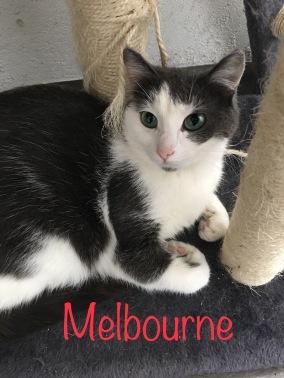 Ces yeux verts devraient vous faire craquer et bien qu'elle se montre timide avec les inconnus Melbourne est une chatte adorable et douce de mai 2016 qui ne demande qu'à être aimée.