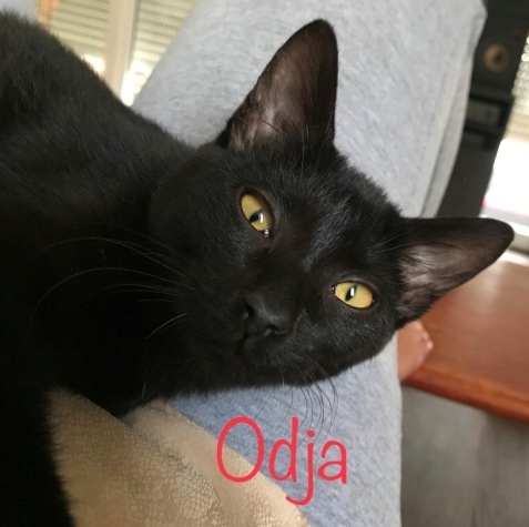 Odja a été recueillie à moins de 2 mois mais sa queue cassée et son colori semblent faire oublier que c'est un amour de chatte née en avril 2018.